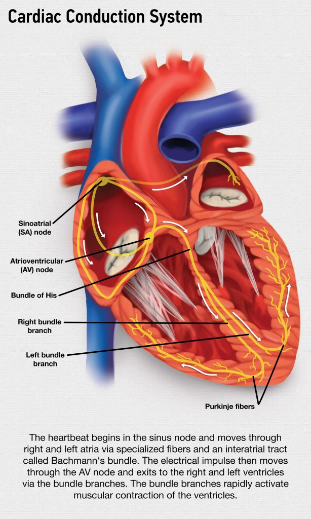 Exploring the Inner Workings of the Heart's Electrical System